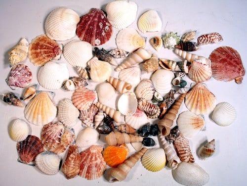 Creative-Hobbies-Sea-Shells-Mixed-Beach-Seashells-Various-Sizes-up-to-2-Shells-Bag-of-Approx-50-Seashells-0