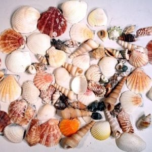 Creative Hobbies Sea Shells Mixed Beach Seashells Various Sizes Up To 2 Shells Bag Of Approx 50 Seashells 0 300x300