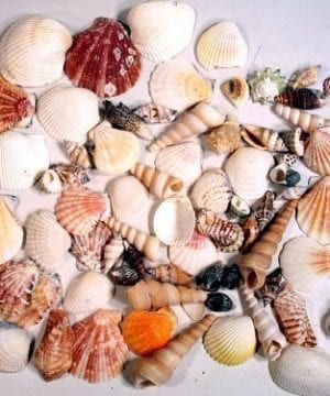 Creative Hobbies Sea Shells Mixed Beach Seashells Various Sizes Up To 2 Shells Bag Of Approx 50 Seashells 0 300x360