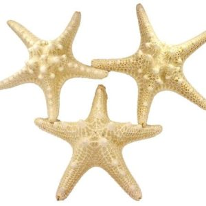 US Shell 3 Piece White Armoured Starfish 5 To 6 Inch 0 300x300
